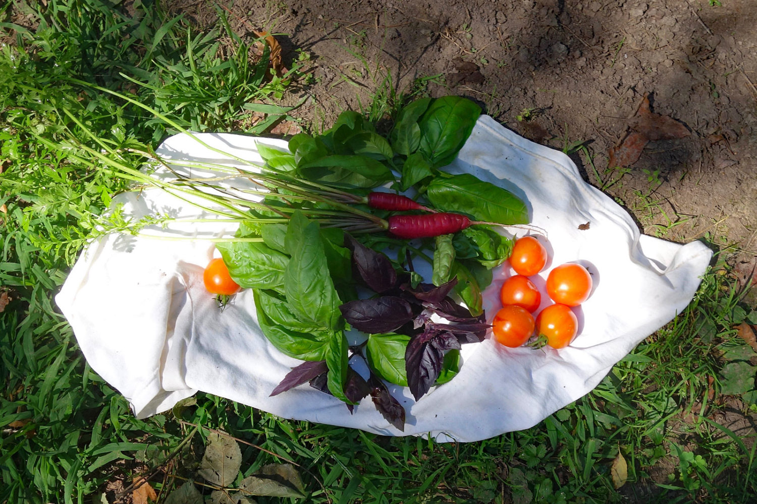 Carrots, tomatoes and basil from garden on my t-shirt