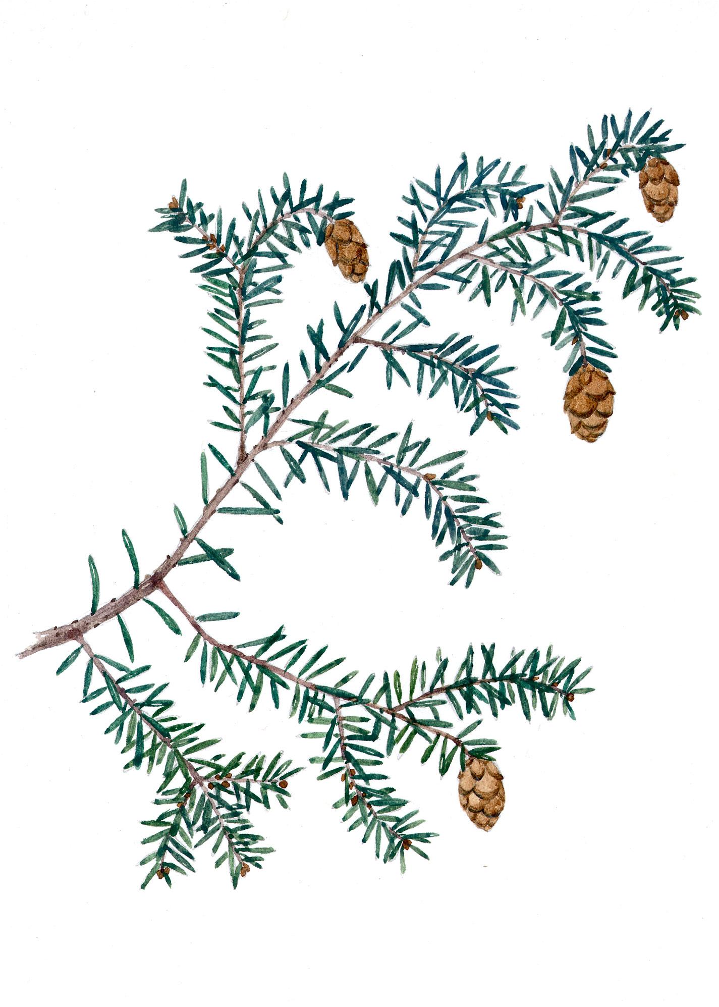 Hemlock branch with cones (Tsuga canadensis)