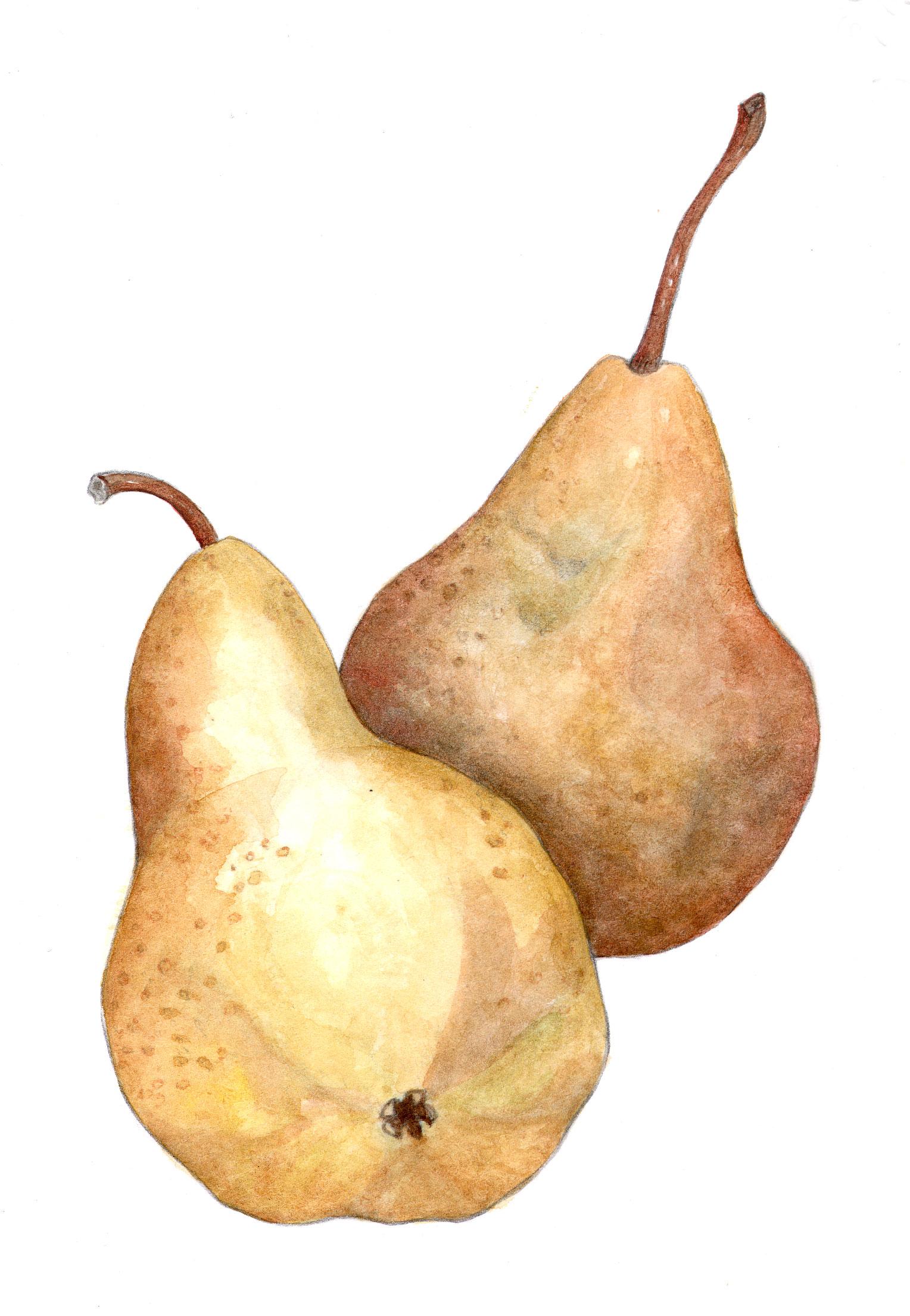Bosc Pears (Pyrus comminus)