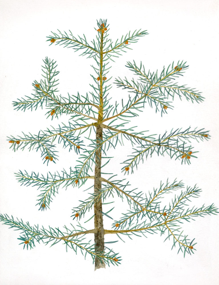 Blue Spruce (Picea pungens