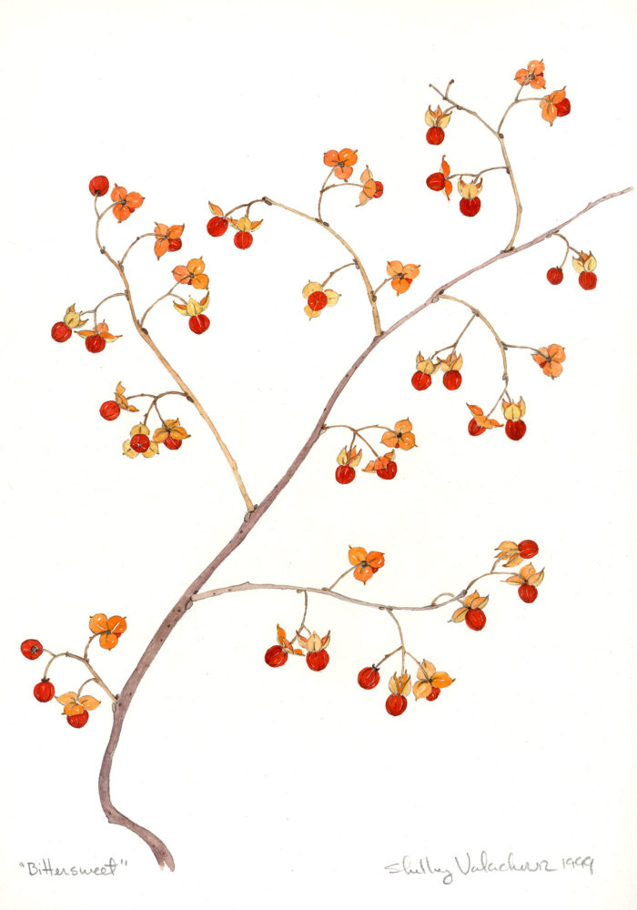 Bittersweet (Celastrus spp.)