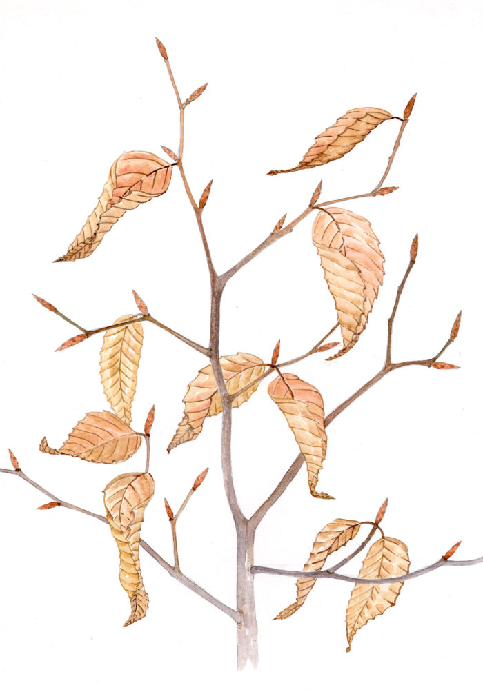 Beech tree (Fagus grandifolia)