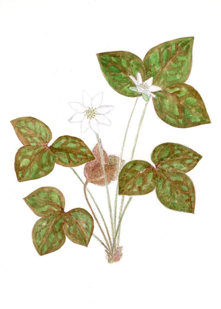 Hepaticas (Hepatica acutiloba)