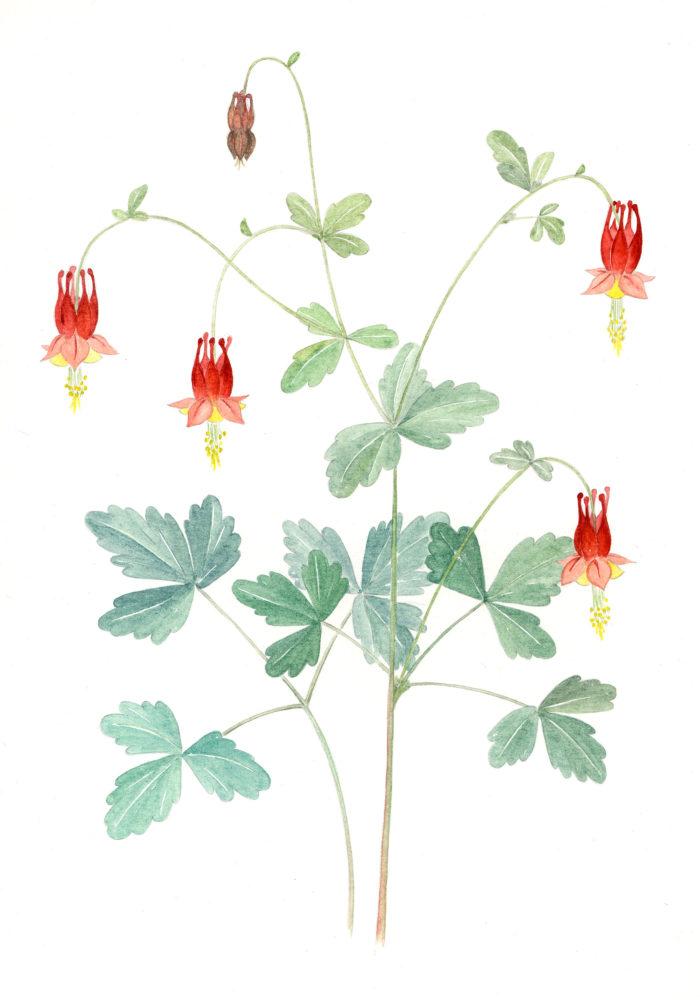 Wild Columbine (Aquilega canadensis)