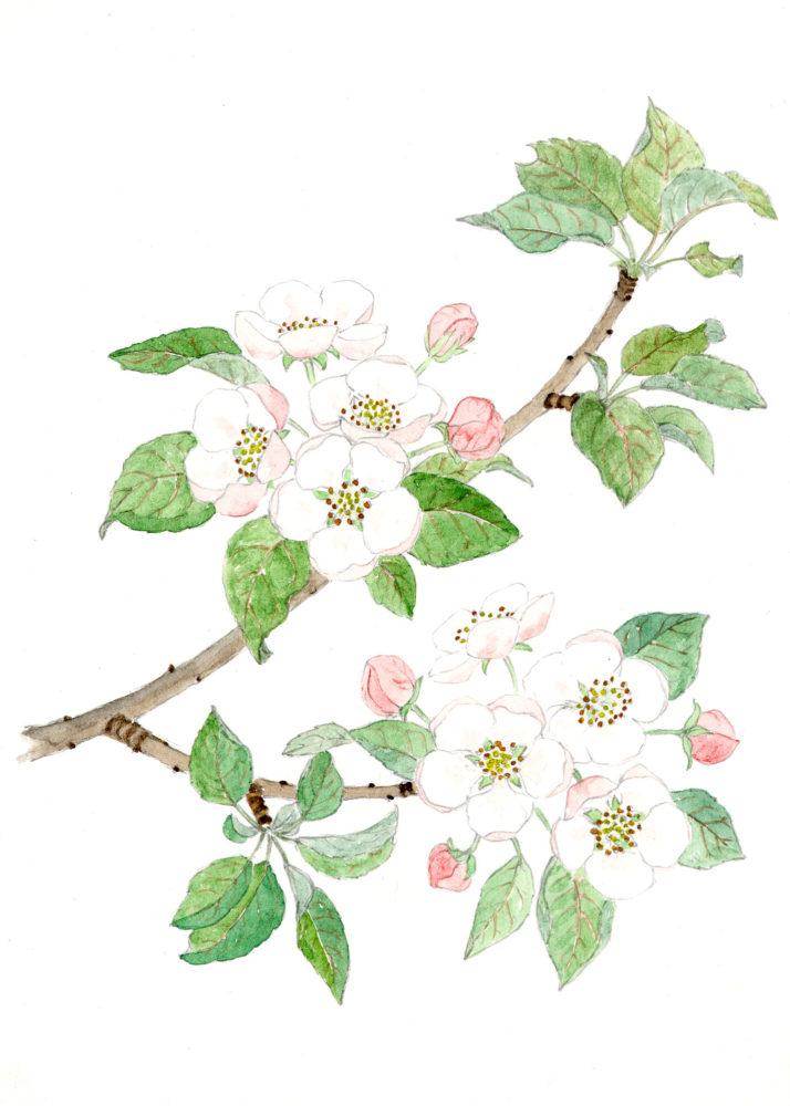Apple Blossoms (Malus spp.)