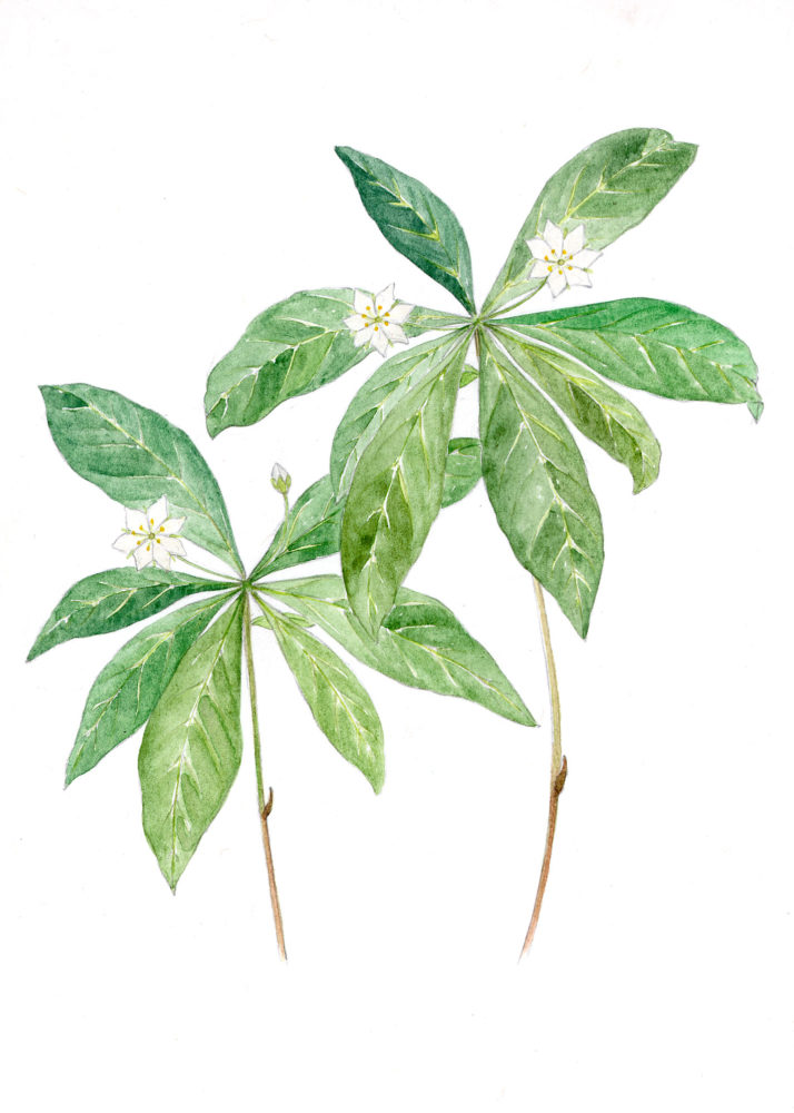 Starflowers (Trientalis americana)