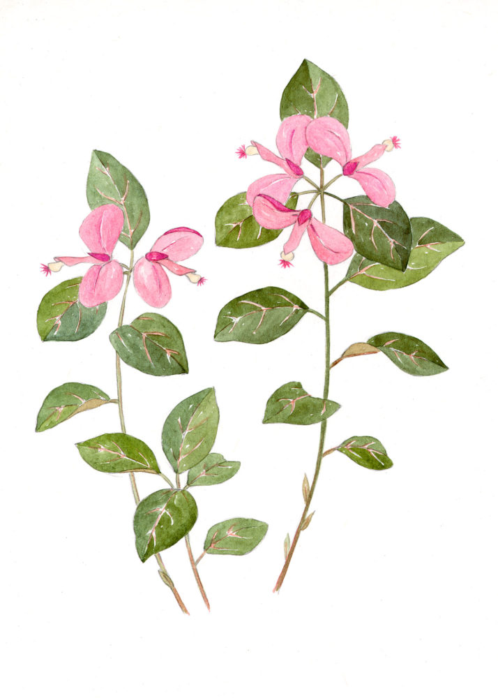 Gaywings (Polygala puacifolia)