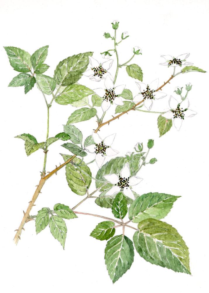 Blackberry blossoms (Rubus alleghenienis)