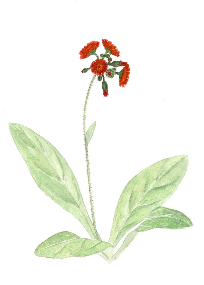 Devil's Paintbrush (Hieracium aurantiacum)