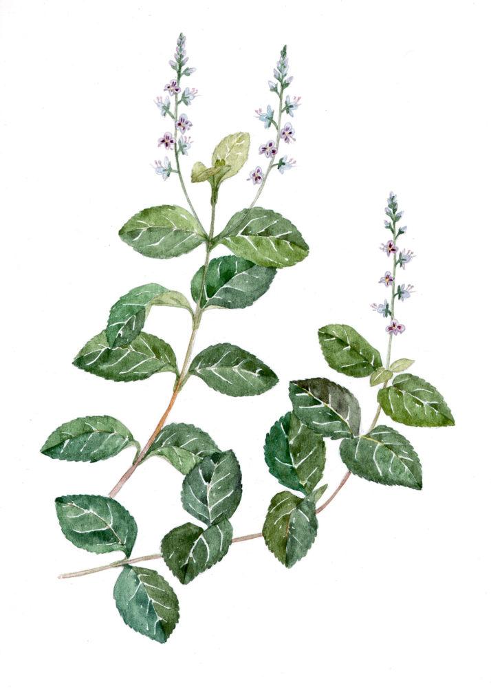 Speedwell (Veronica officinalis)