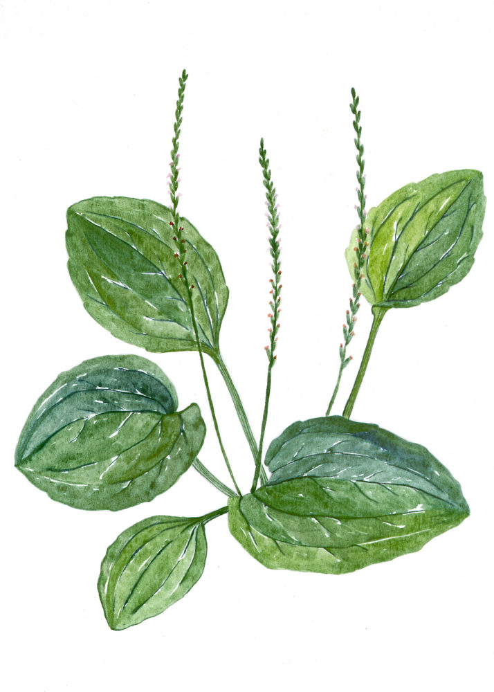 Plantain (Plantago major)