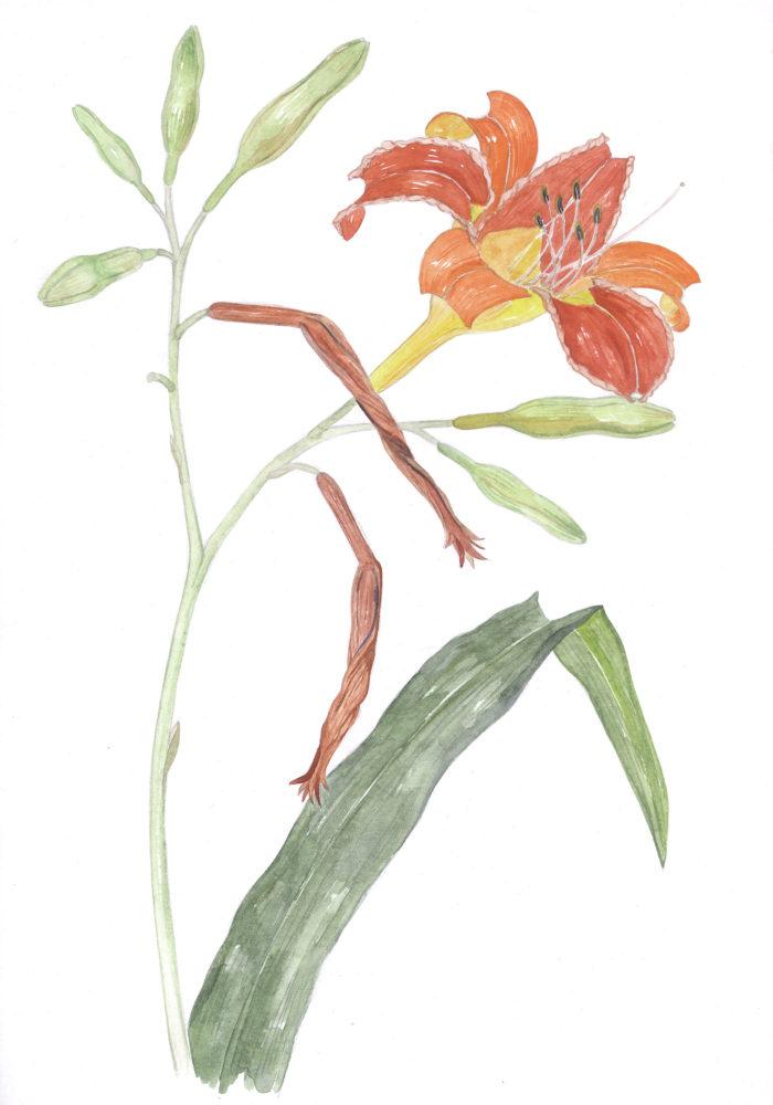 Day lilies (Hemerocallis fulva)