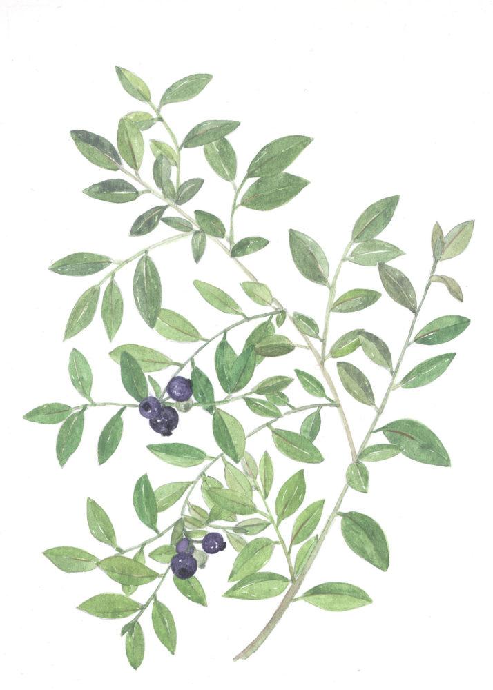 Blueberries (Vaccinium angustifolium)
