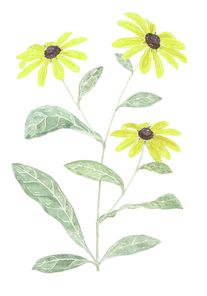 Black-eyed Susans (Rudbeckia hirta)