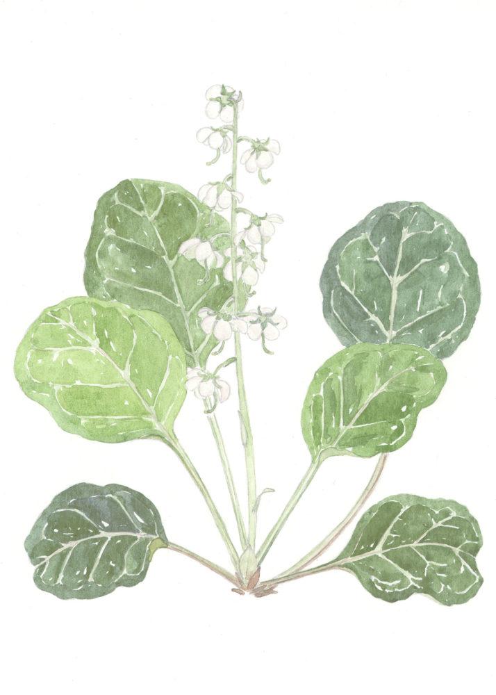 Round-leaved Pyrolas (Pyrola rotundifolia)