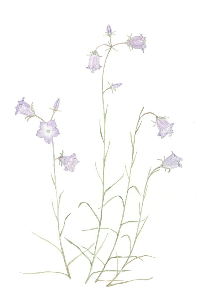 Harebells (Campanula rotundifolia)