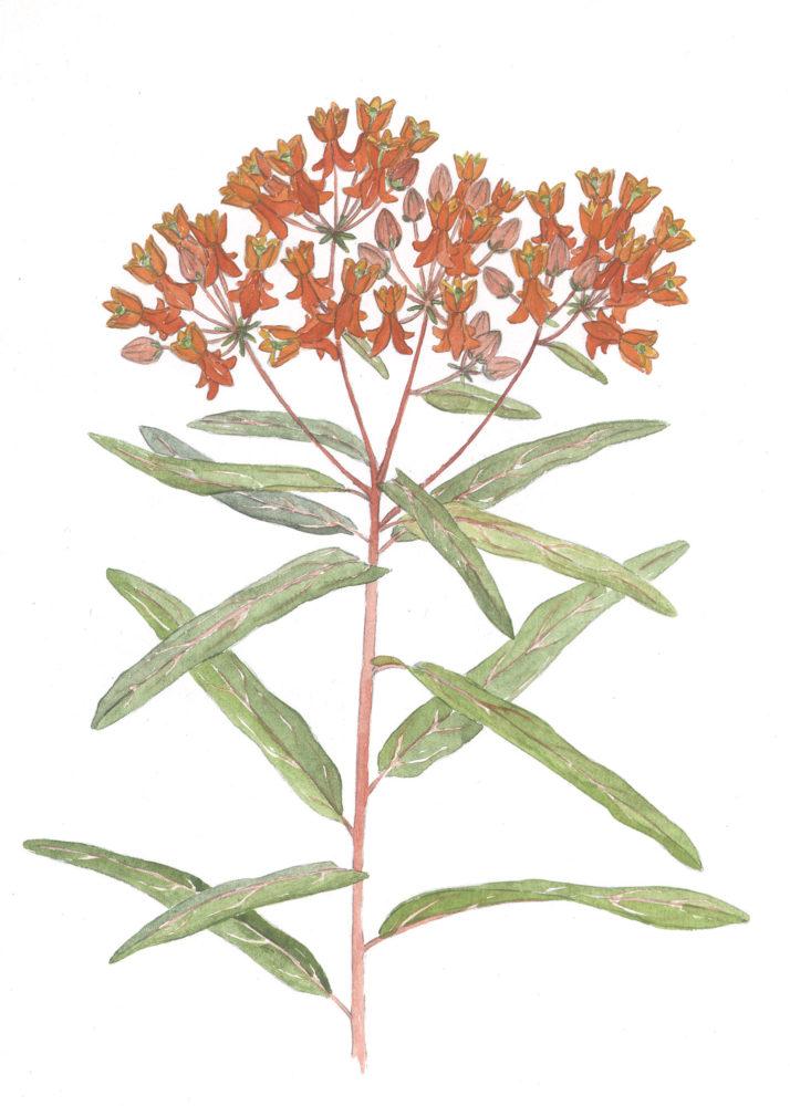 Butterflyweed (Asclepias tuberosa)