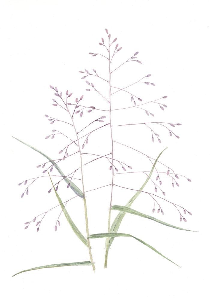 Purple Love Grass (Eragrotis spectabilis)