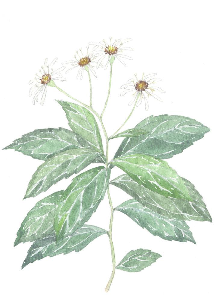 Whorled Wood Aster (Aster acuminatus)