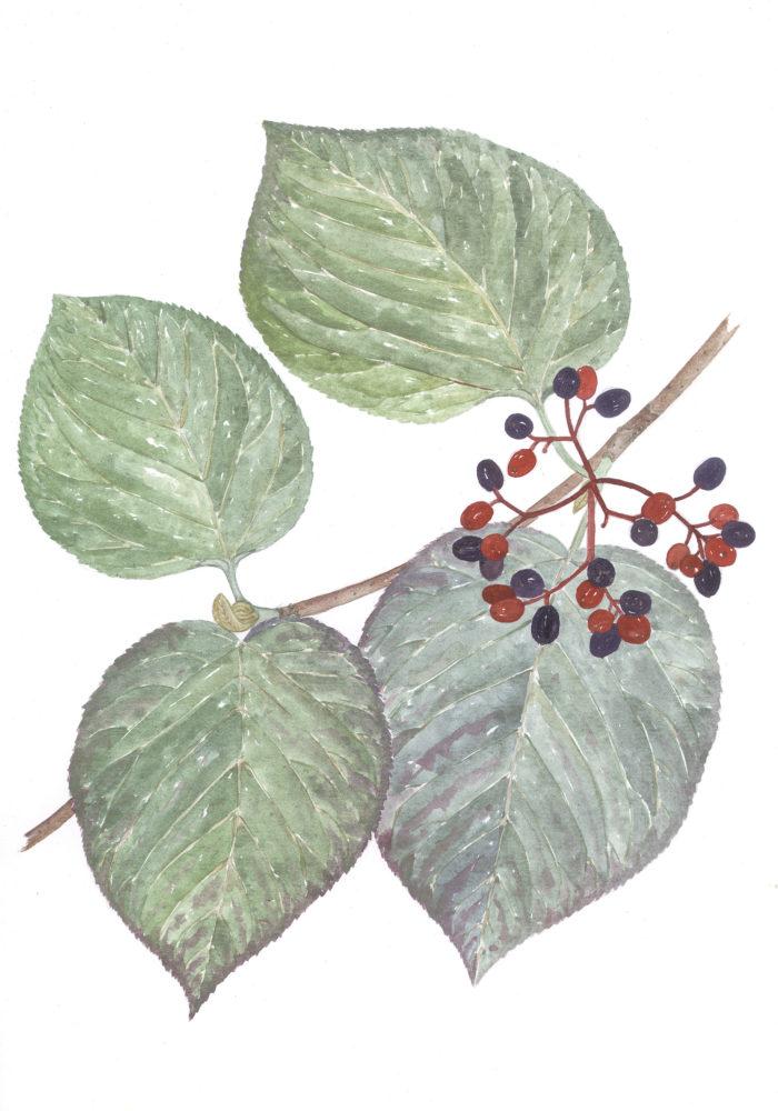 Hobblebush Berries (Viburnum alnifolium)