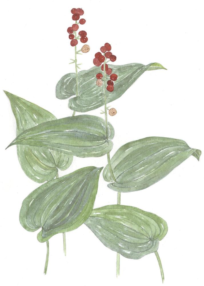 Bead Ruby (Maianthemum canadense)