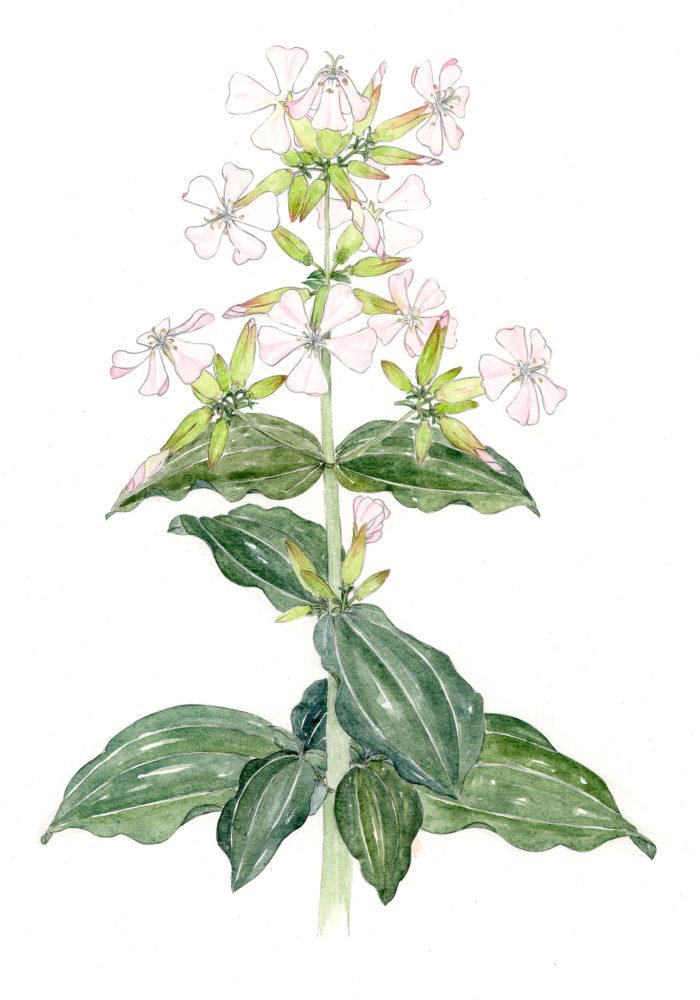Bouncing Bet (Saponaria officinalis)