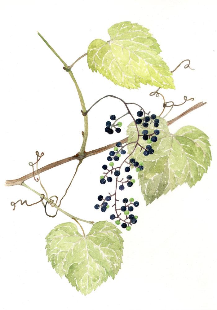 Frost Grape (Vitis vulpina)