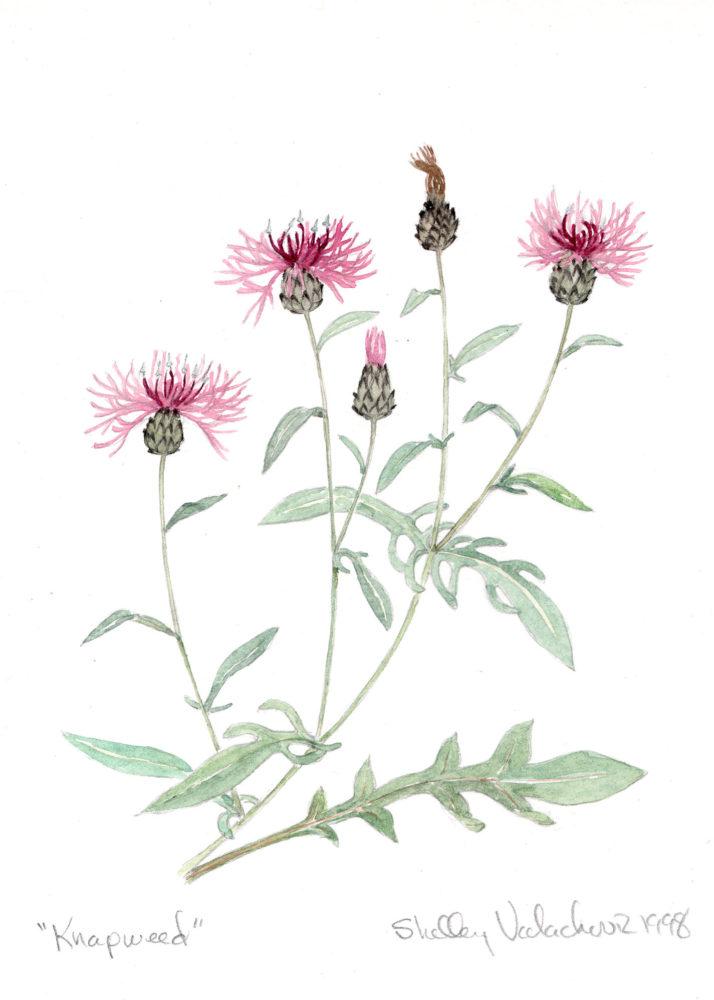 Knapweed (Centaurea maculosa)