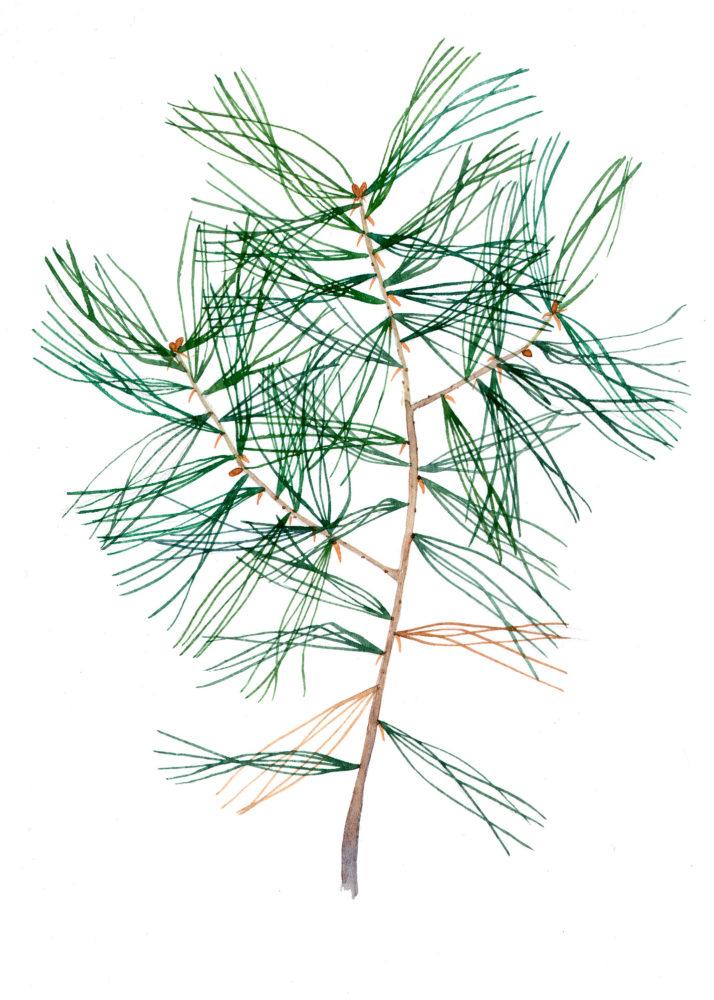 White Pine seedling (Pinus strobus)