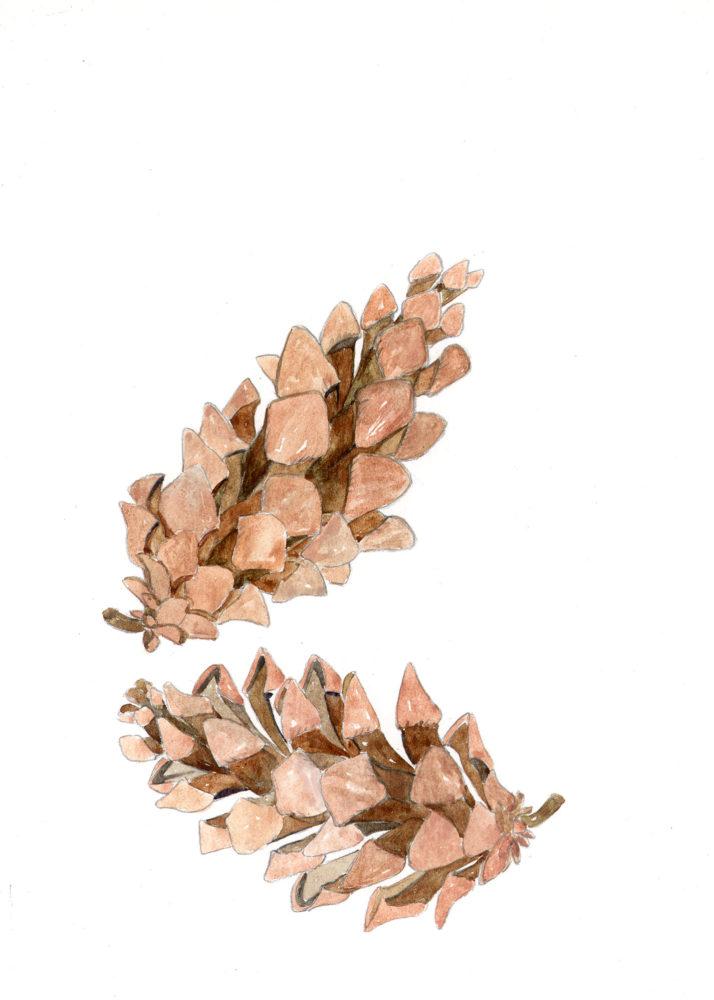 Pine Cones of the Eastern White Pine (Pinus strobus)