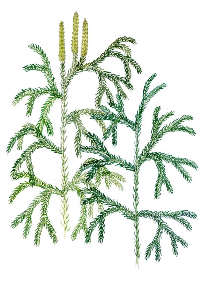 Tree Clubmoss (Lycopodium obscurum)