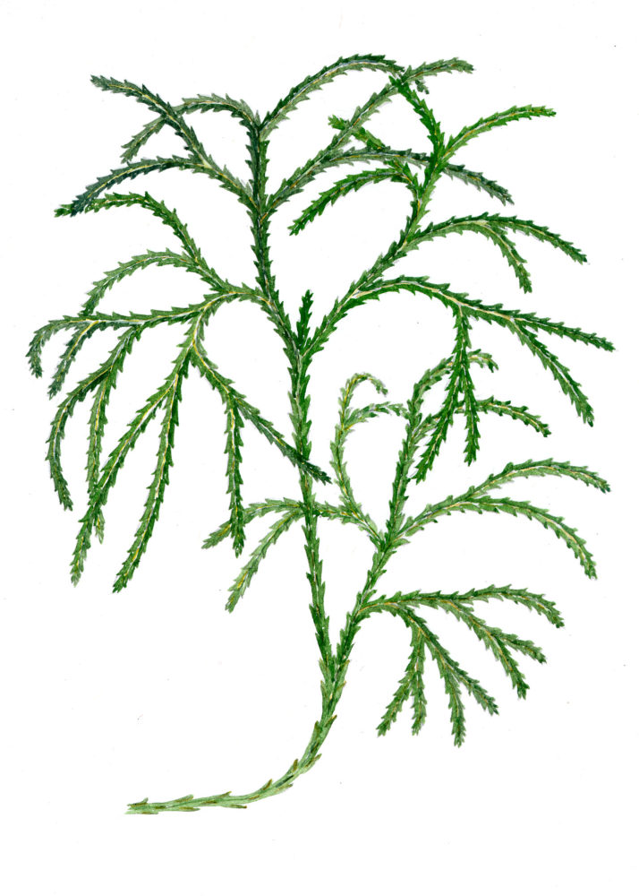 Christmas green (Lycopodium complanatum)