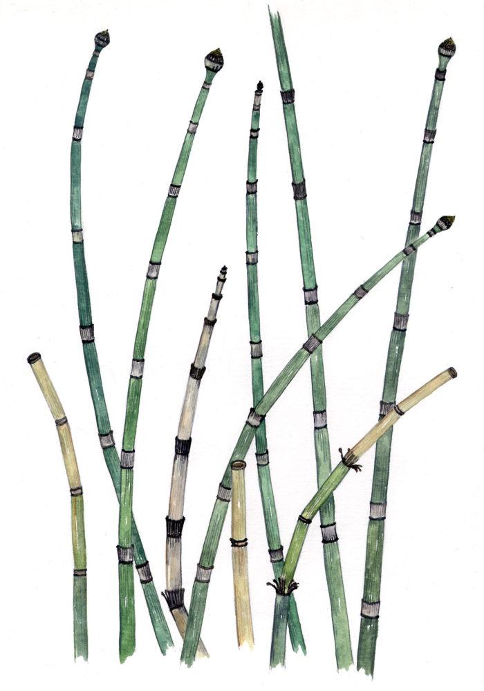 Horsetails (Equisetum hiemale)