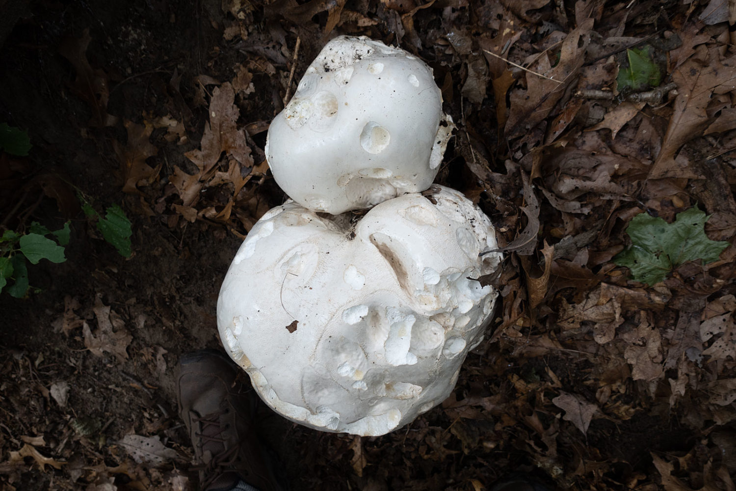 Giant Puffball in the woods after the rain. My size 12 shoe is in the photo to indicate scale.