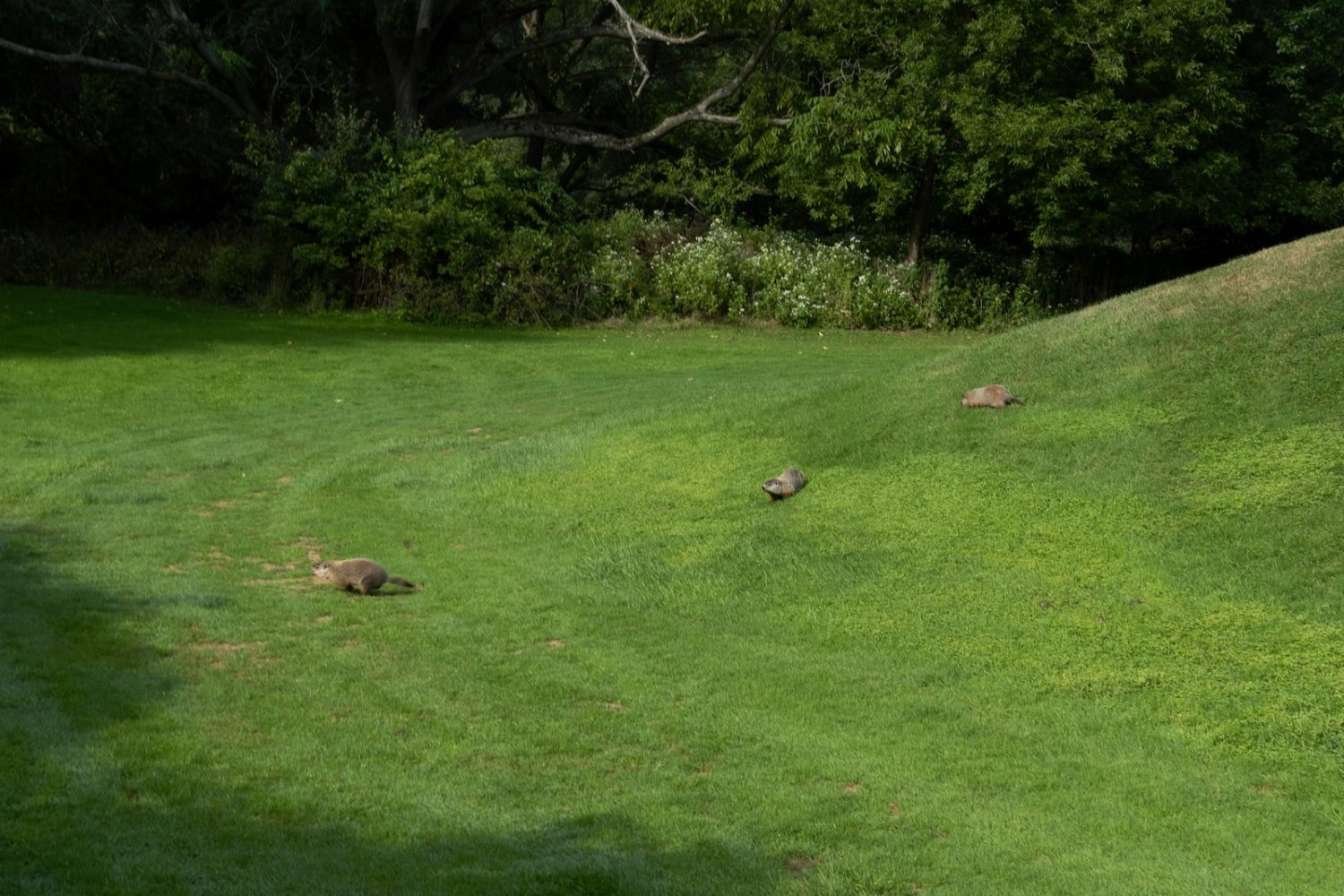 Three ground hogs on the golf course at Durand Eastman