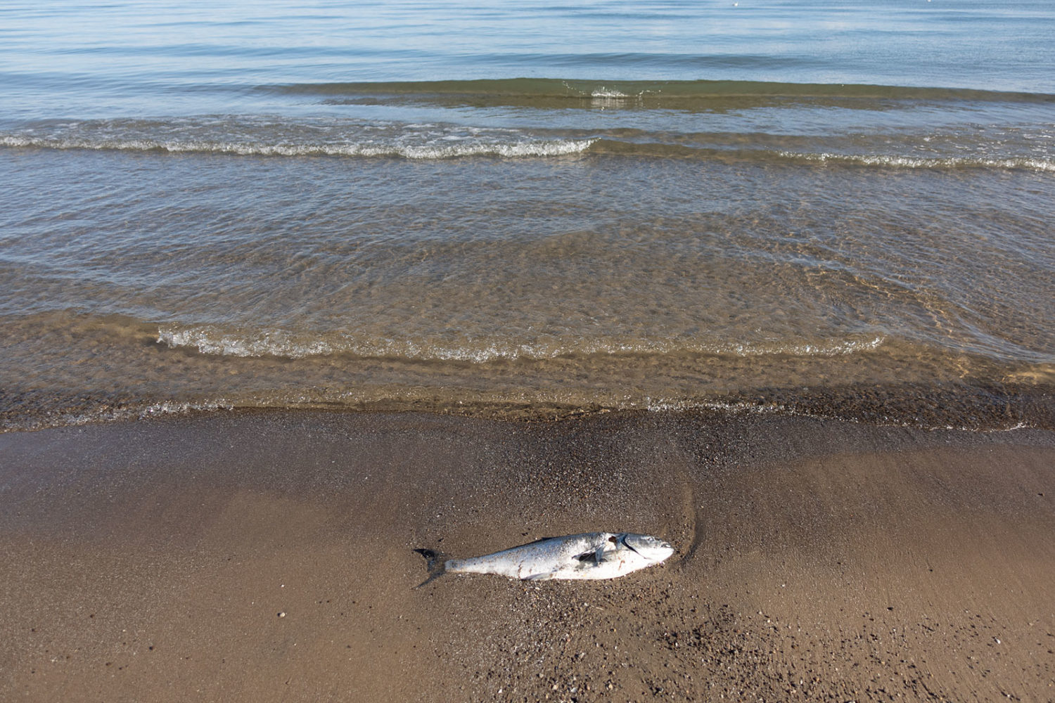 Dead shad fish along Lake Ontario