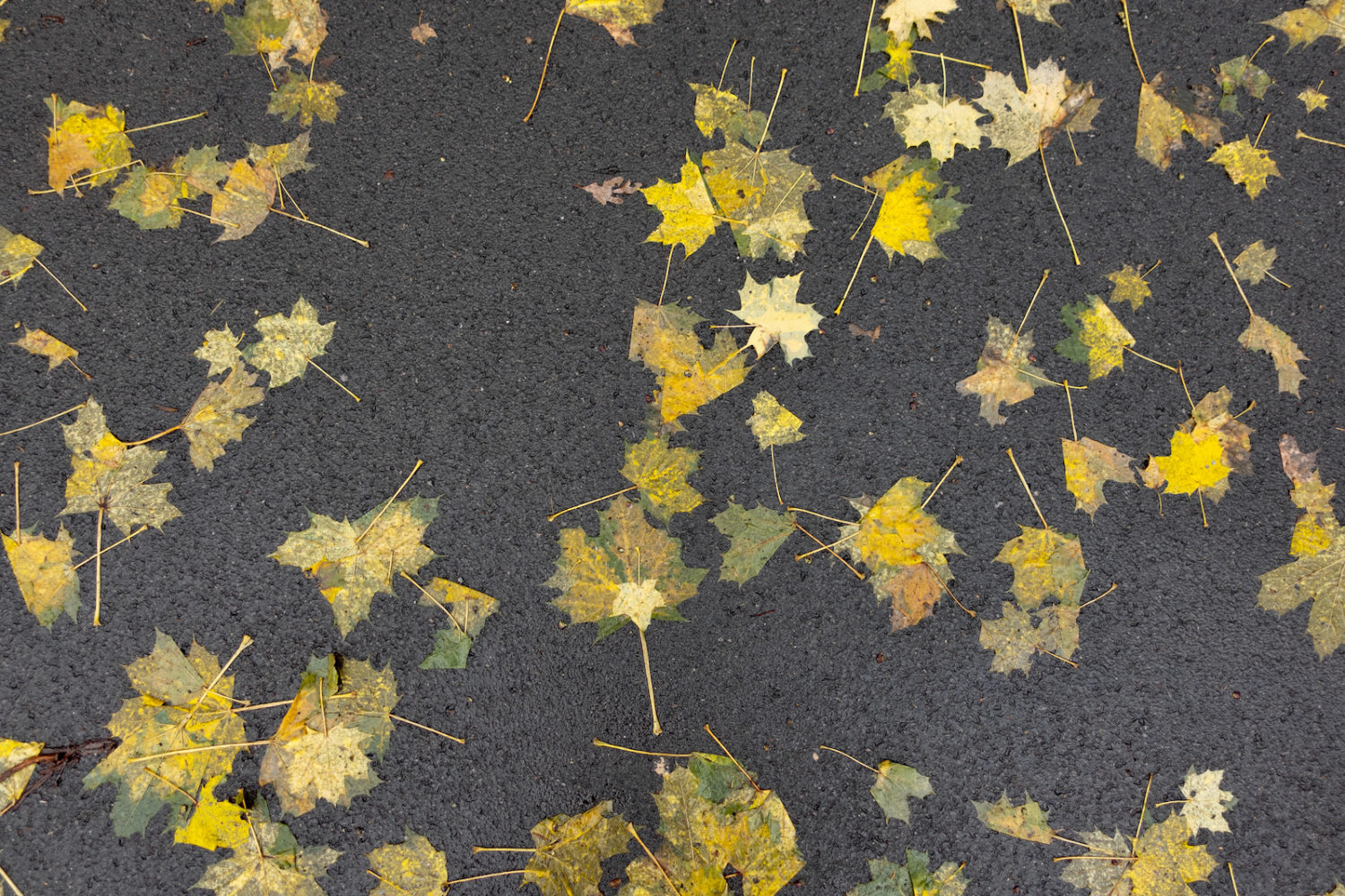 Flattened maple leaves on road out front