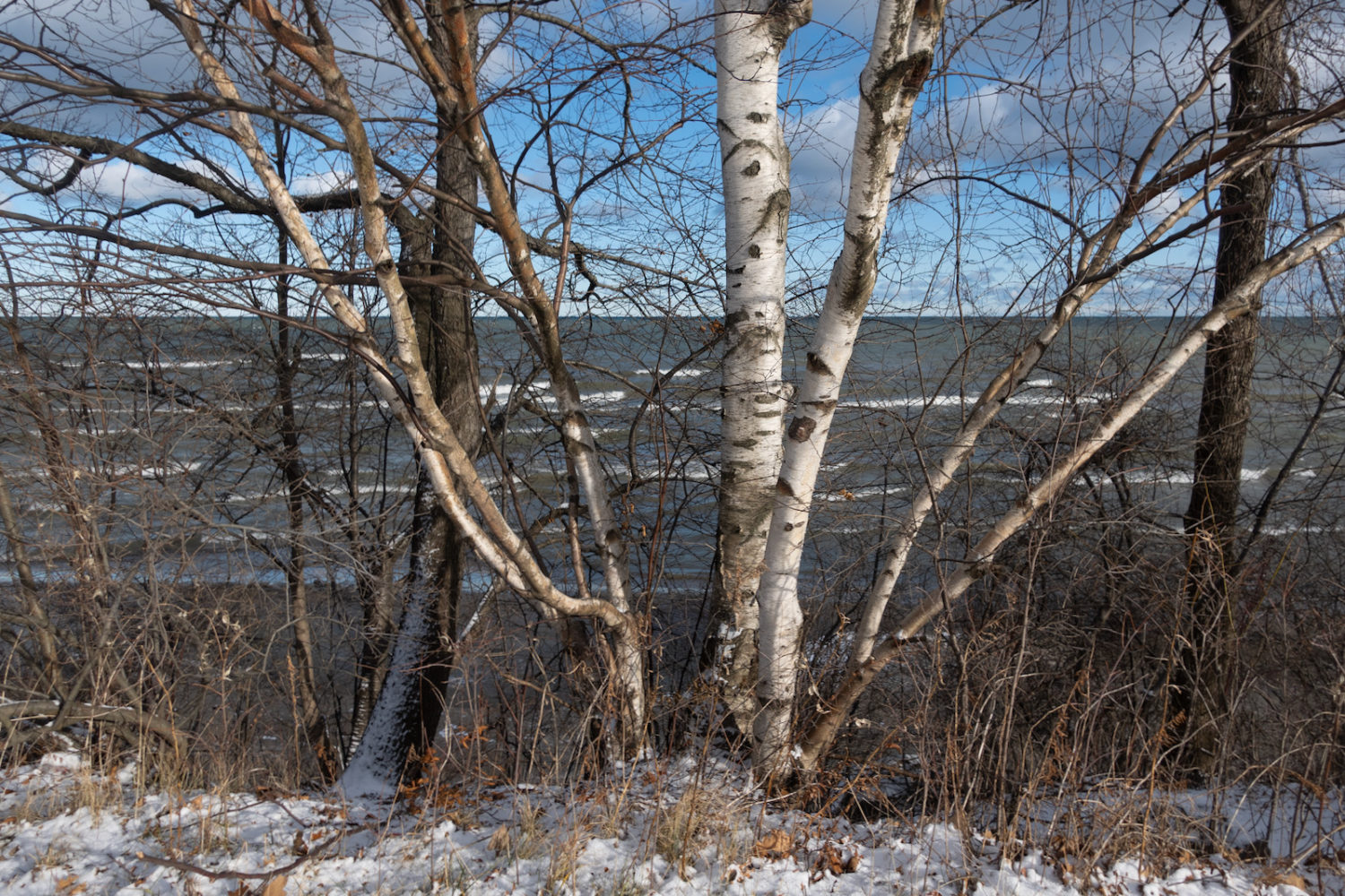 Birch trees along Lake Ontario in January