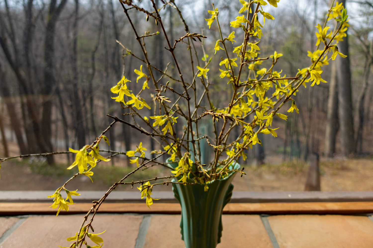 Forced Forsythia clippings in window