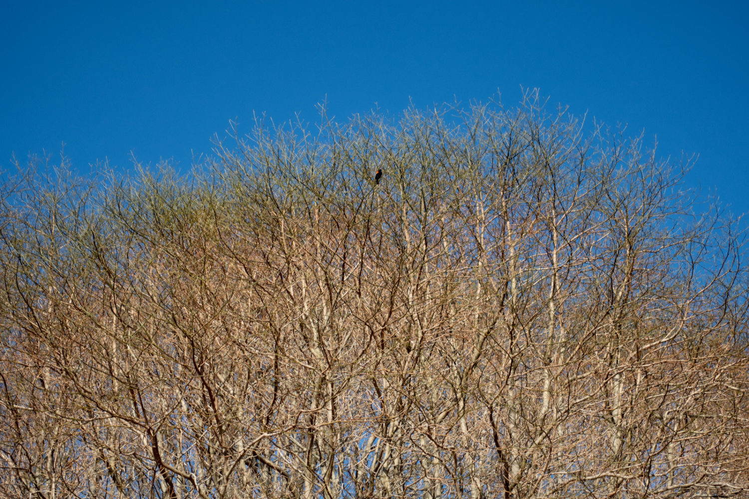 Red Winged Blackbird at the top of the trees