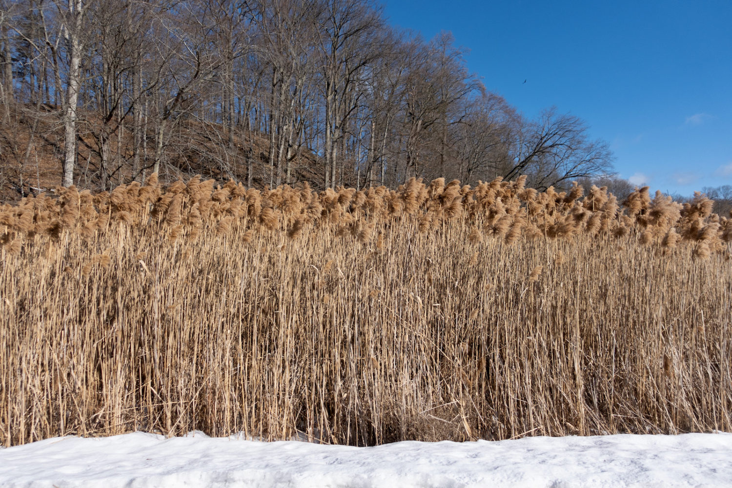 Tall grasses in marsh on Hoffman Road