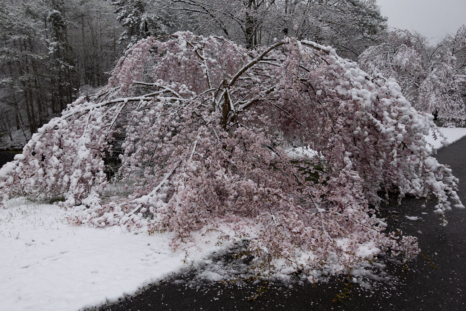 Cherry trees along Log Cabin Road under April 21st snow