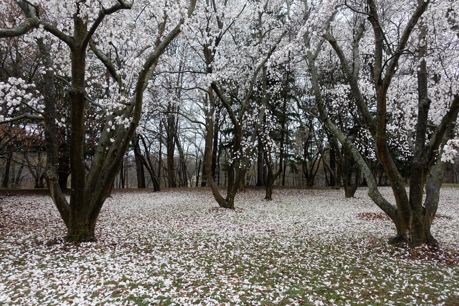Snowy magnolias on a rainy day