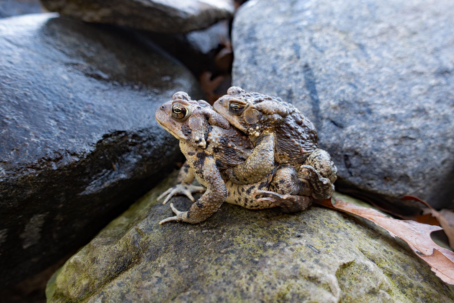Toads mating in Jared's pond