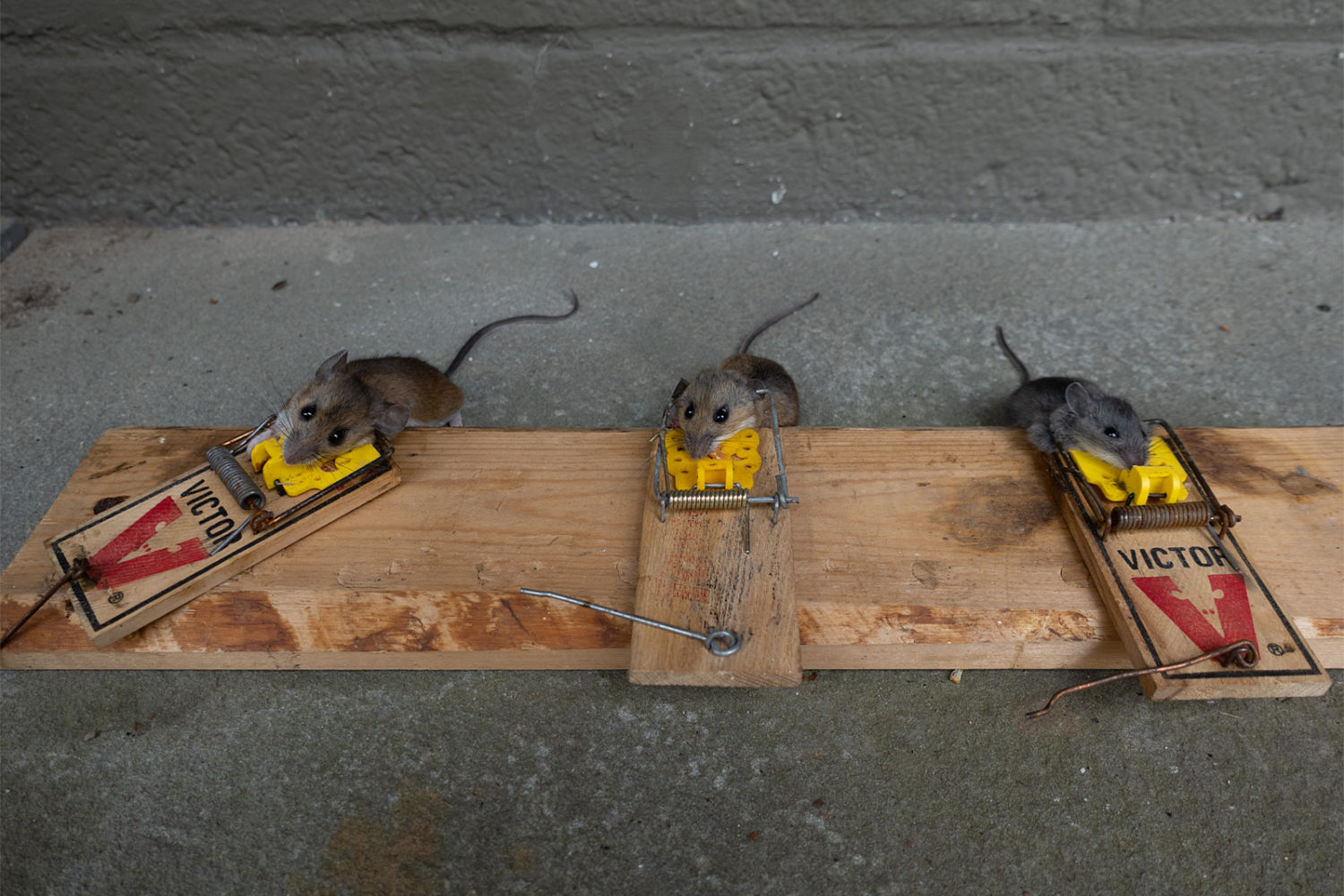 Three mice in three traps