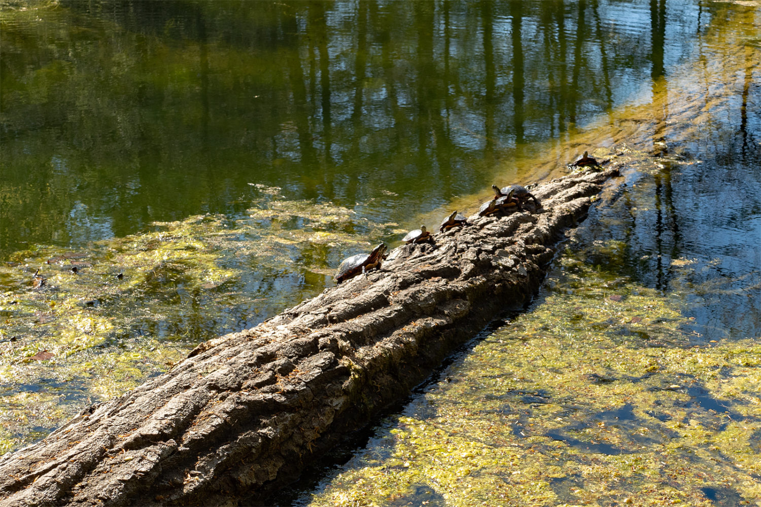 Turtles sunning themselves on a  fallen tree in Durand Lake