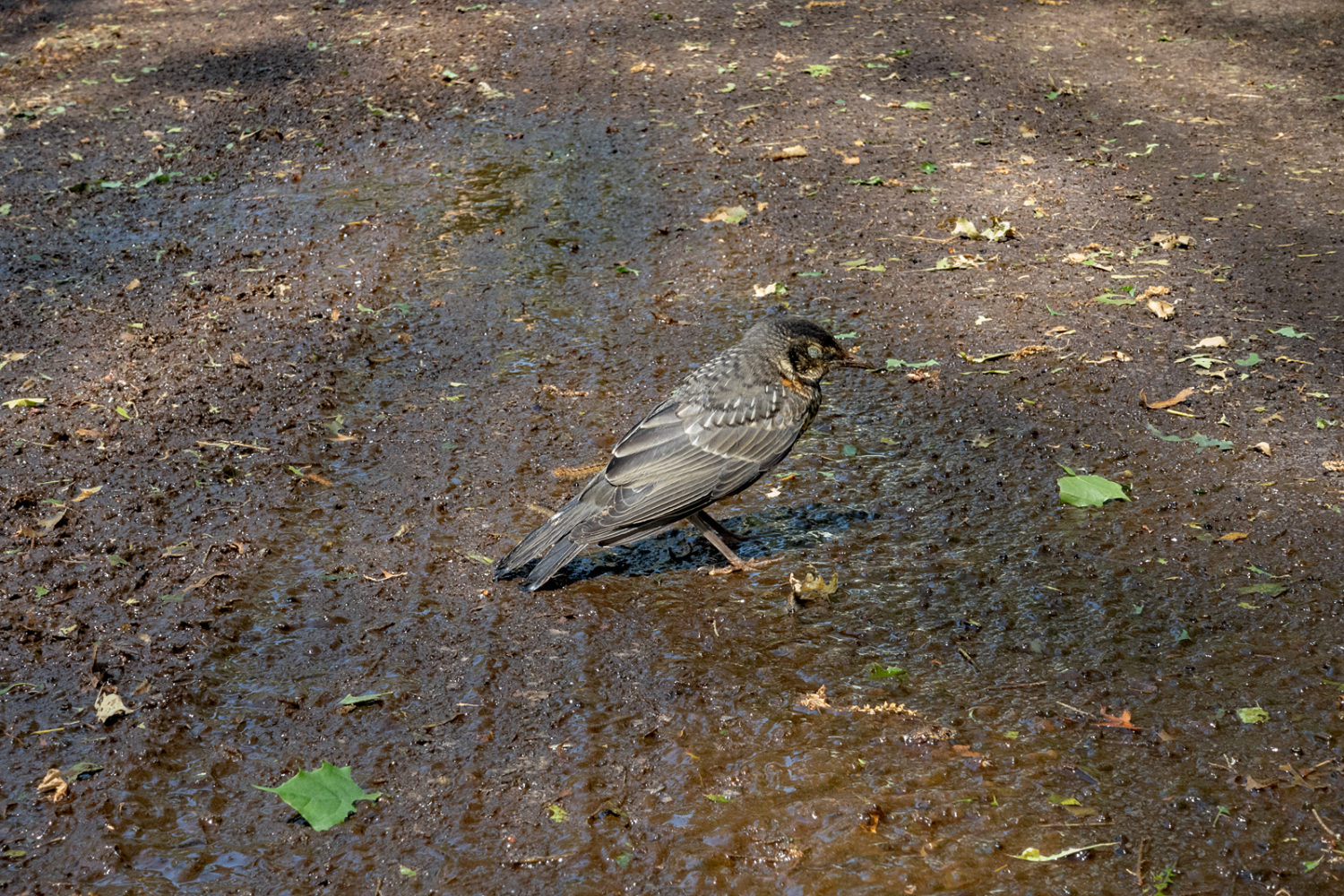 Bird standing in the road amidst Gypsy Moth poop and pieces of leaves