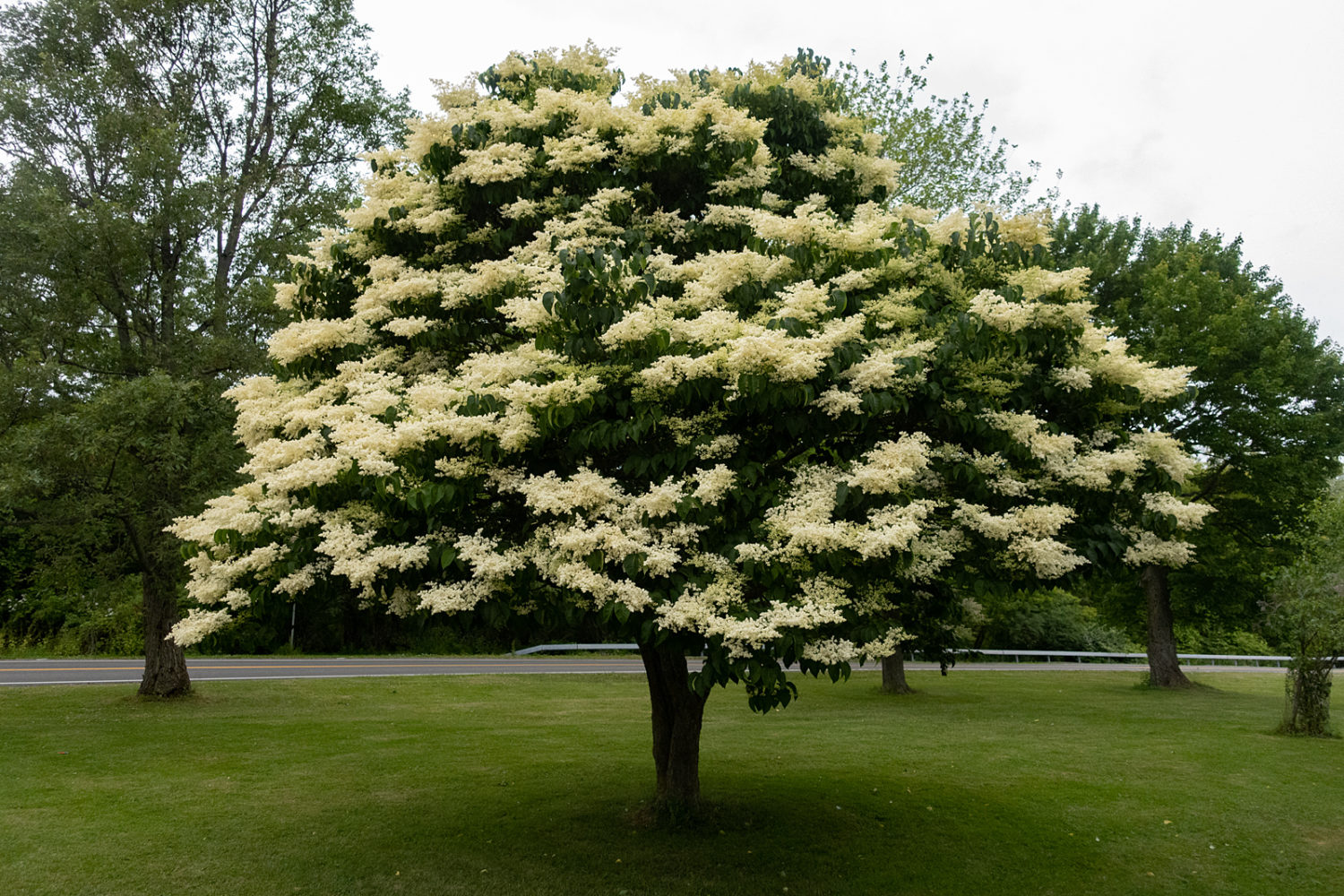 Japanese Lilac in triangle at the corner of Kings Highway and Lakeshore Boulevard