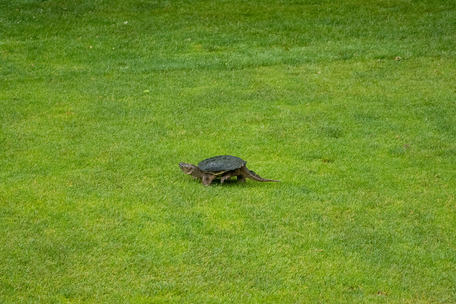 Mama turtle on the golf course