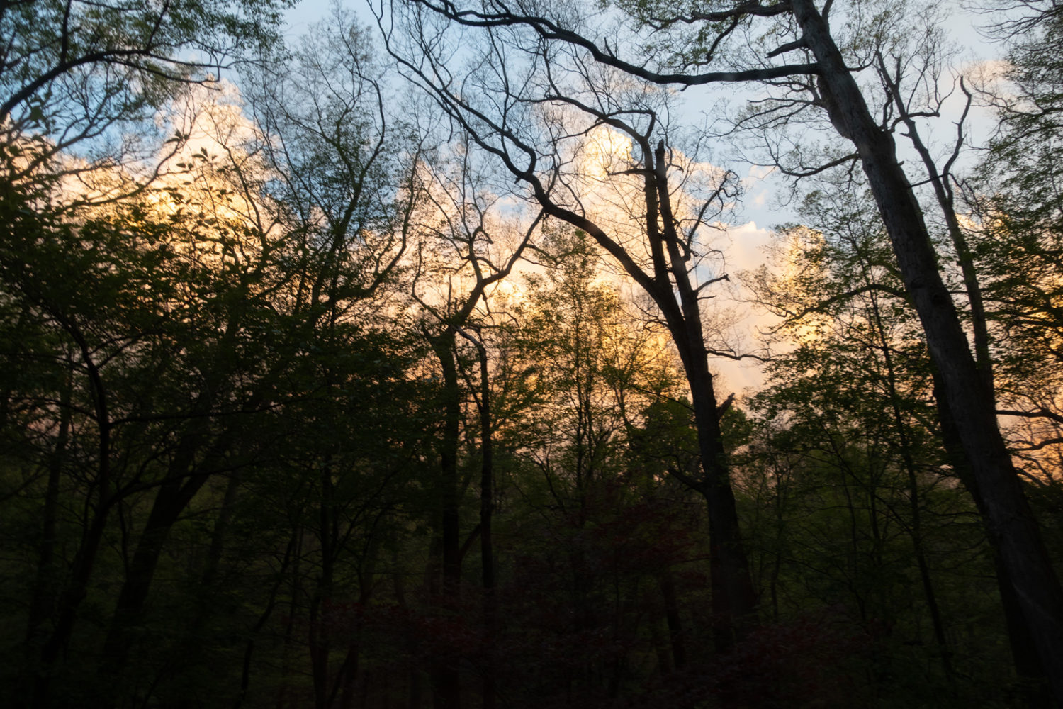 Sunset with bare trees, aftermath of the gypsy moths